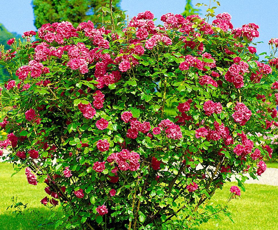 морщинистые розы фото самом деле