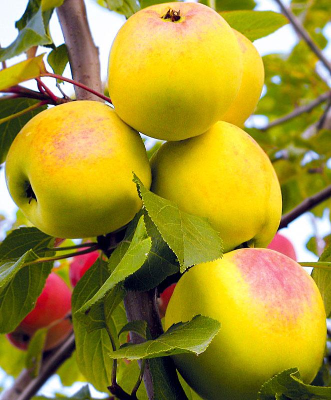яблоня данила описание фото откровенные