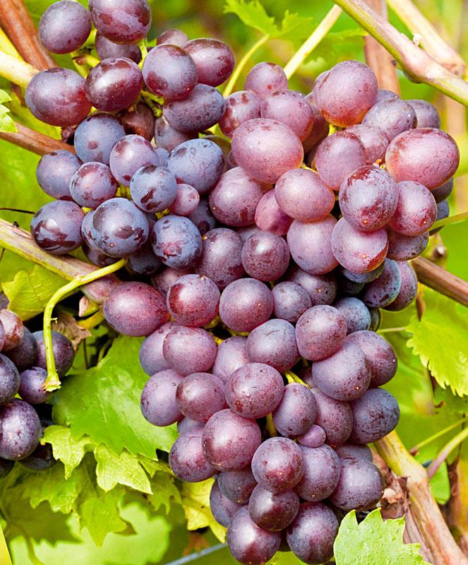 Виноград Мускат розовый ранний