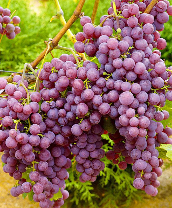 Виноград Русский ранний