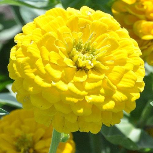 Цинния Великан желтый