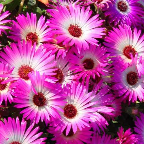 Доротеантус  Темно-розовый