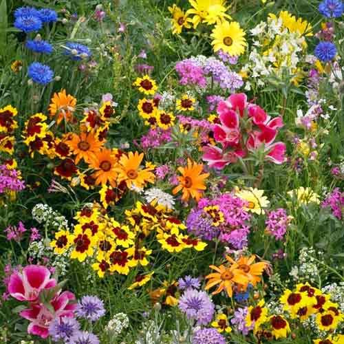 Газон цветущий Солнечная долина, смесь окрасок