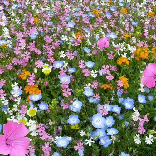 Газон цветущий Восточный орнамент, смесь окрасок