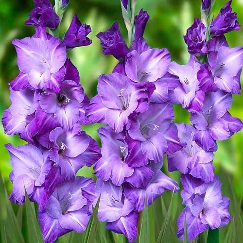 Гладиолус крупноцветковый Блю Исл