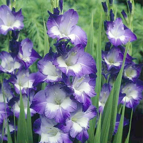 Гладиолус крупноцветковый Кингс Линн