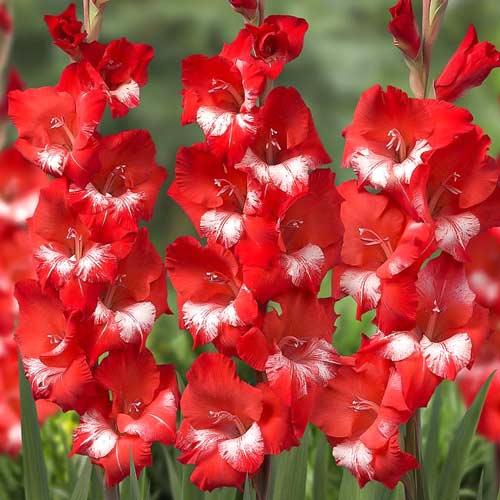 Гладиолус крупноцветковый Спарклер