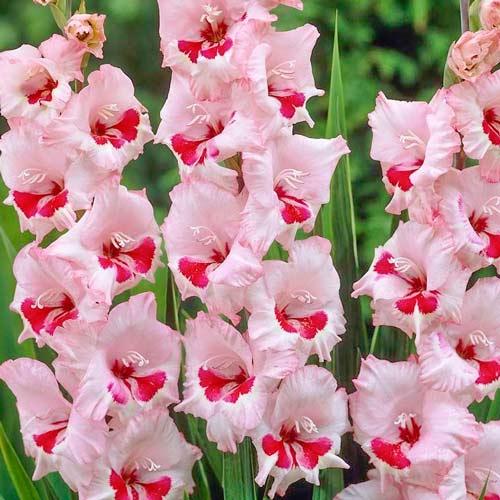 Гладиолус крупноцветковый Вайн энд Роузес