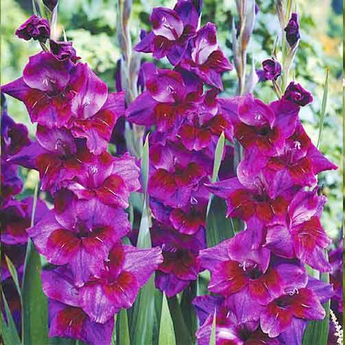 Гладиолус крупноцветковый Вельвет Айз