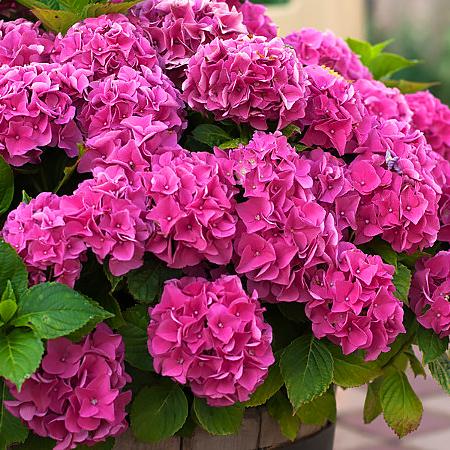 Гортензия крупнолистная Розовое чудо