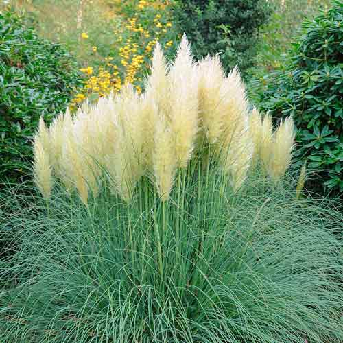 Кортадерия (пампасная трава) серебристая
