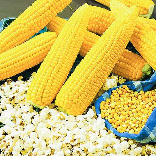 Кукуруза (попкорн) Внучкина радость