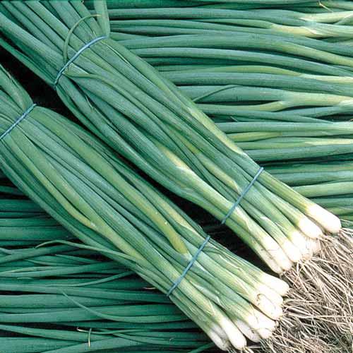 Лук на зелень Шашлычный