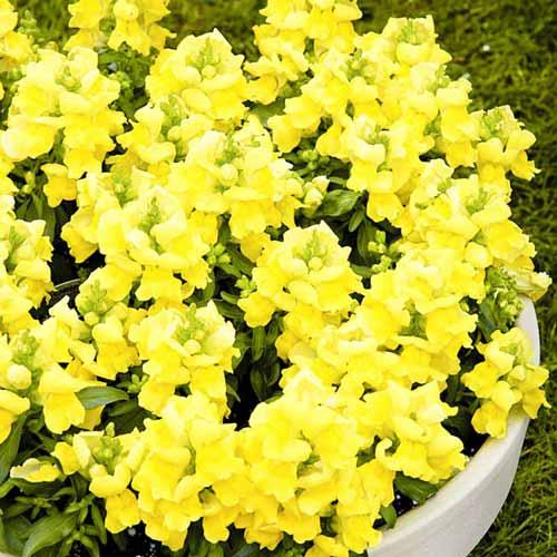 Львиный зев Цветочный дождь желтый F1