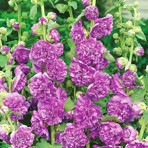 Мальва Фиолетовый бархат