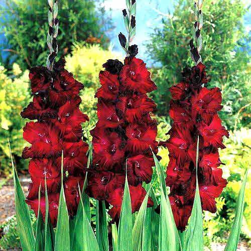 Гладиолус крупноцветковый Блэк Джек