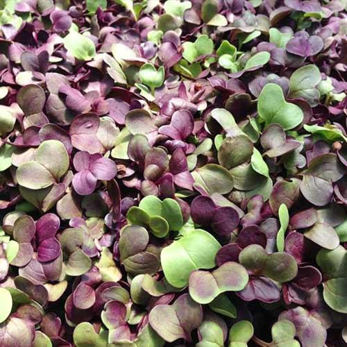 Микрозелень Базилик микс, смесь семян