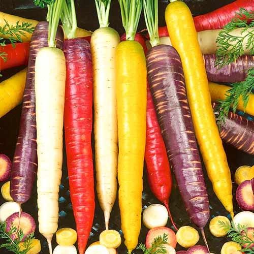 Морковь Чаровница радужная