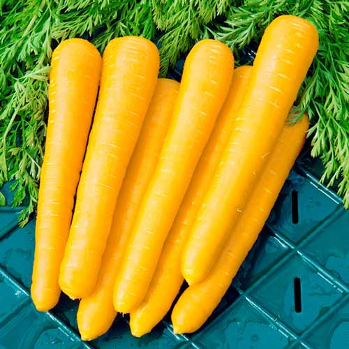 Морковь Мармелад желтый