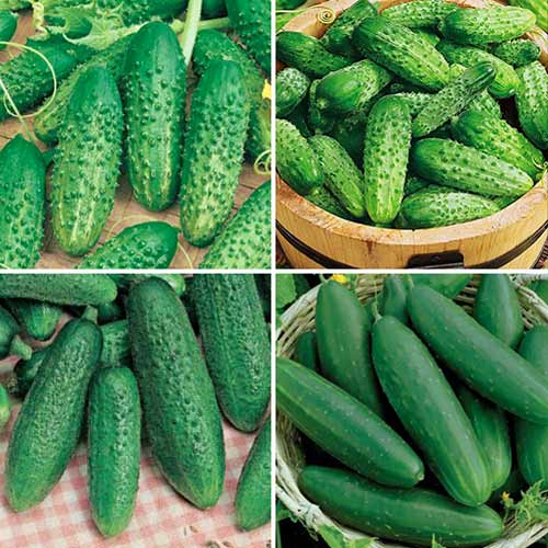 Набор гибридов огурца для консервации, смесь семян