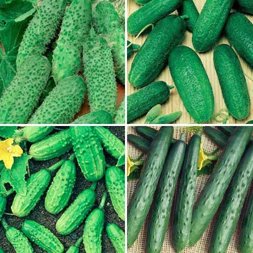 Набор гибридов огурца для открытого грунта, смесь семян