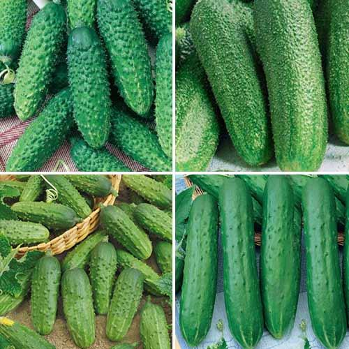 Набор гибридов огурца для засолки, смесь семян