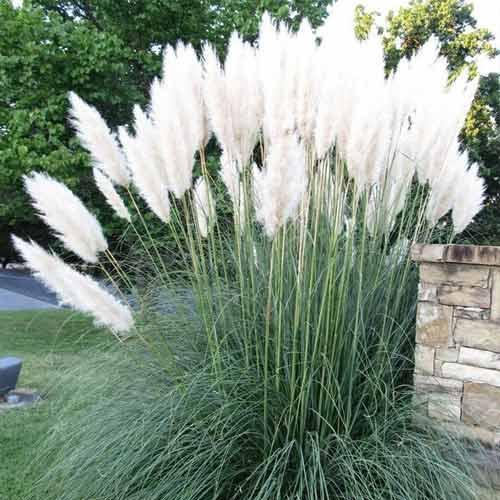 Пампасная трава Белый шлейф