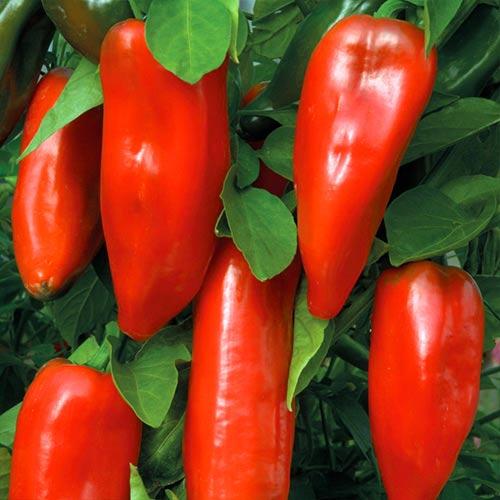 Перец сладкий Бизон красный