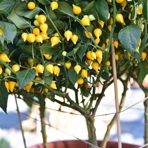 Перец острый Желтый гном