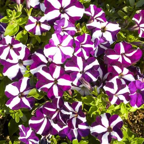 Петуния ампельная Лавина пурпурная звезда F1