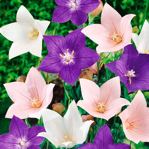 Платикодон Крупноцветковый, смесь окрасок