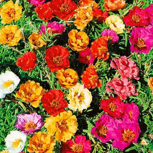 Портулак крупноцветковый, смесь окрасок