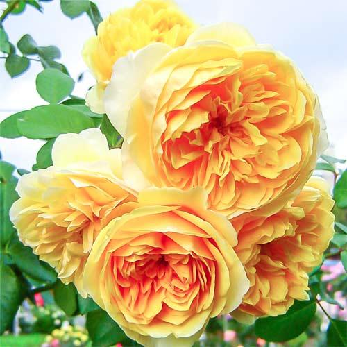Роза английская Грэхам Томас