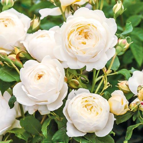 Роза английская Клер Остин