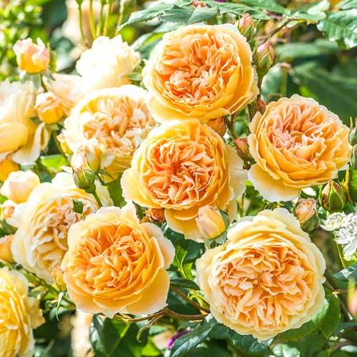 Роза английская Корона Принцессы Маргарет