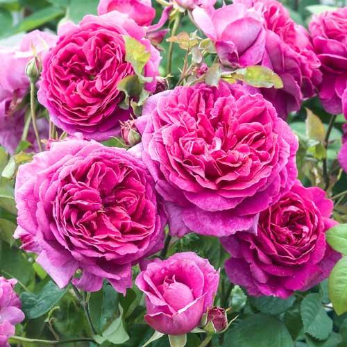 Роза английская Пинк Леди