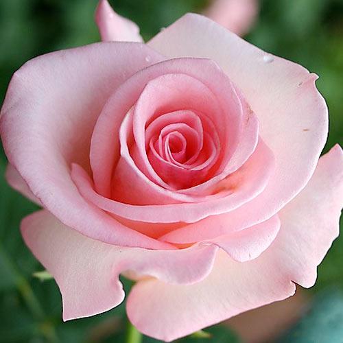 Роза чайно-гибридная Фламинго