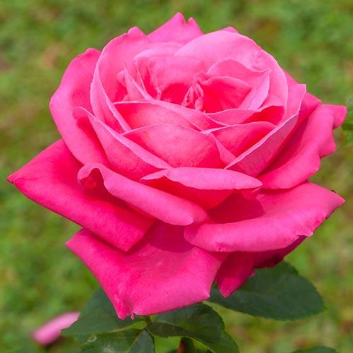 Роза чайно-гибридная Леди Митчел