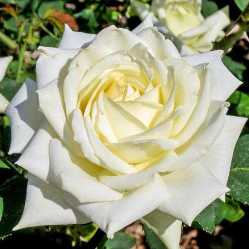 Роза чайно-гибридная Полярная звезда
