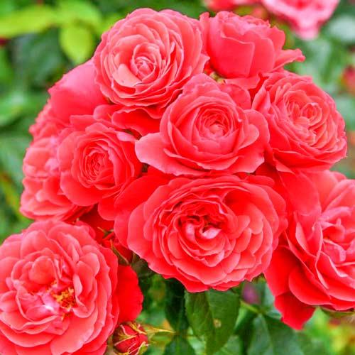Роза флорибунда Черри Герл
