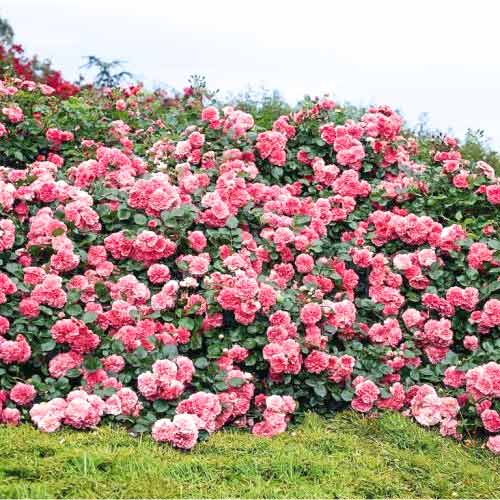 Роза плетистая Пинк Мушимара