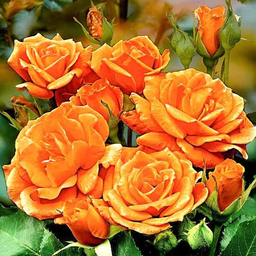 Роза флорибунда Оранж Сенсейшн
