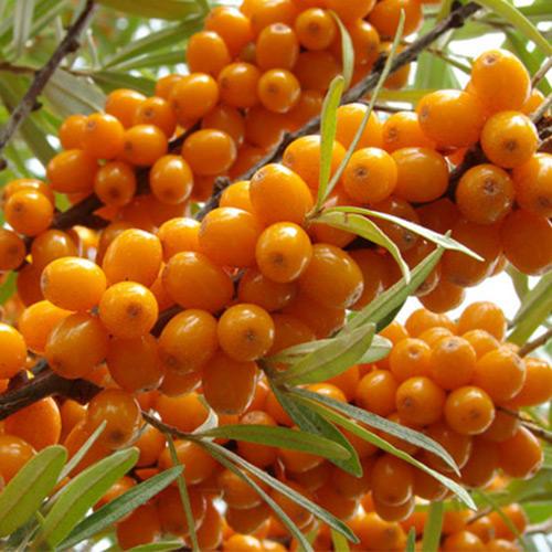 Облепиха Оранжевая сила: муж.(1) + жен.(1)
