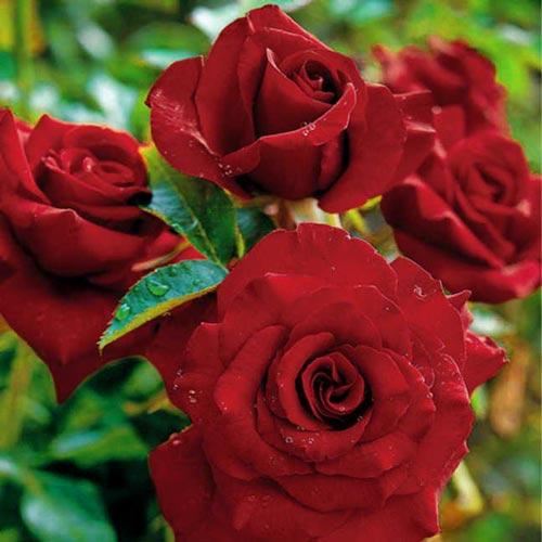 Роза чайно-гибридная Черная магия