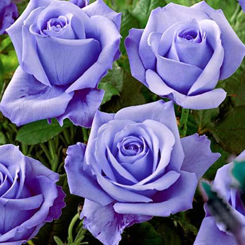 Роза чайно-гибридная Голубая