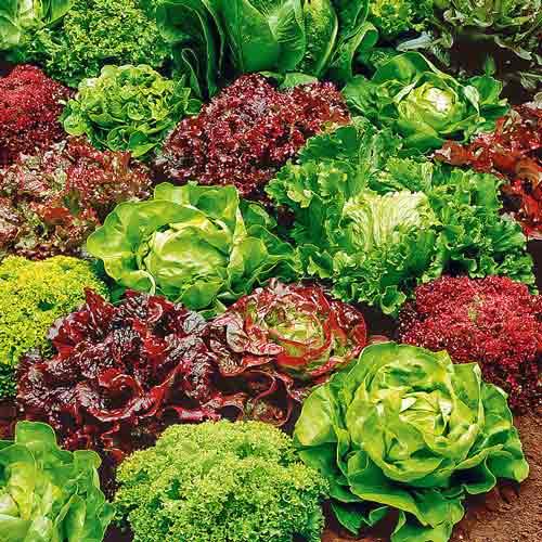 Салат Разноцветное кружево, смесь семян