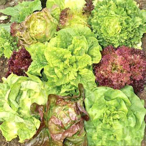 Салат Всесезонный, смесь семян