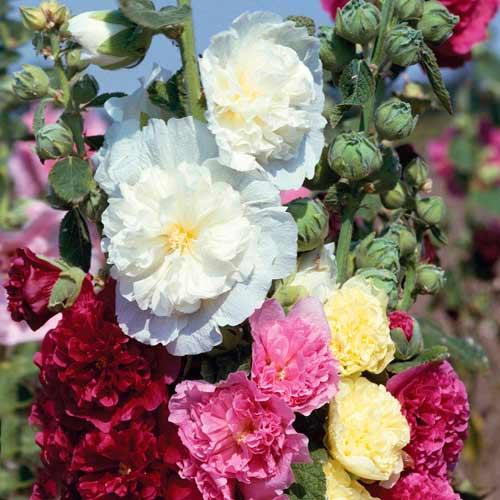 Шток-роза Королевская, смесь окрасок