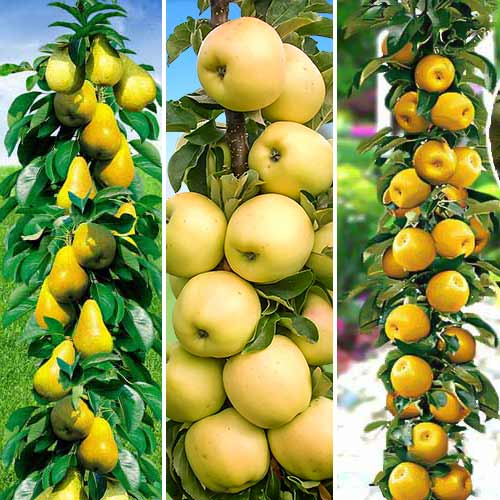 Суперпредложение! Комплект колоновидных деревьев Осенняя удача из 3 саженцев