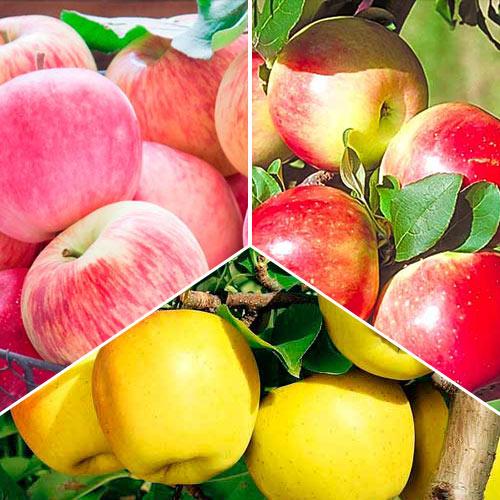 Суперпредложение! Комплект Яблочный сад из 3 саженцев: